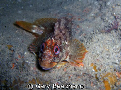 Tompot Blenny shot at Portland on the wreck of the SS Bin... by Gary Beecheno 